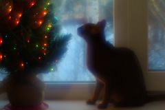 Abyssinian cat sits on the window and looks at the Christmas tree. royalty free stock image