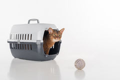 Abyssinian cat sitting in the box and looking out with Toy ball. Isolated on white background Stock Photos