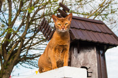 An Abyssinian cat. Sitting on the elevation Royalty Free Stock Image
