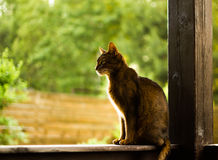 Abyssinian cat. Sitting in the house Royalty Free Stock Photos