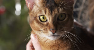 Abyssinian cat sitting on knees and stroked by hand Royalty Free Stock Images