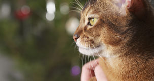 Abyssinian cat sitting on knees and stroked by hand Royalty Free Stock Photography