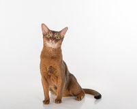 Abyssinian cat sitting and looking up. Isolated on the white background Stock Photos