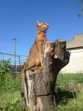 Abyssinian cat sitting on a tree stump. Abyssinian cat sitting on tree stump Stock Photo