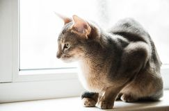 Abyssinian cat sitting on the window in the daytime, selective focus royalty free stock photos