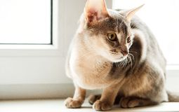 Abyssinian cat sitting on the window in the daytime, selective focus royalty free stock images