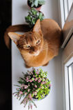 Abyssinian cat sitting on the windowsill with heather and succul. Purebred abyssinian cat sitting on the windowsill with heather and succulents, indoor Stock Image