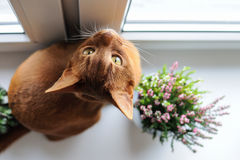 Abyssinian cat sitting on the windowsill with heather and succul. Purebred abyssinian cat sitting on the windowsill with heather and succulents, indoor Royalty Free Stock Images