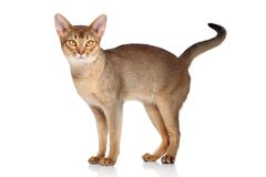Abyssinian cat. Standing on a white background royalty free stock photo