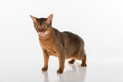 Abyssinian cat standing on white background, showing tongue, Open mouth Stock Image
