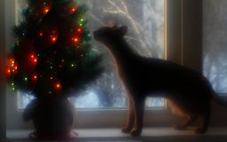 Abyssinian cat stands on the window and sniffs a Christmas tree. stock photos