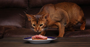 Abyssinian cat stealing meat from table, pet bad behavior Stock Photos
