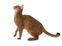 Abyssinian cat in studio. Abyssinian cat in front of white background royalty free stock photos
