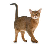 Abyssinian cat in studio. Abyssinian cat in front of white background stock image