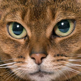 Abyssinian cat in studio. Abyssinian cat in front of white background Royalty Free Stock Images