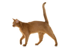 Abyssinian cat in studio. Abyssinian cat in front of white background royalty free stock photo