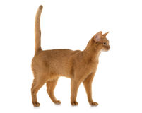Abyssinian cat in studio. Abyssinian cat in front of white background stock photos