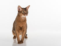 Abyssinian cat is suprised,  on white background Stock Photos