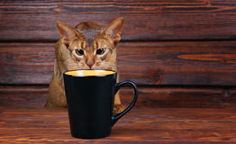 Abyssinian cat trying to drink from big black cup Stock Image
