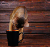 Abyssinian cat trying to drink from big black cup Stock Photos