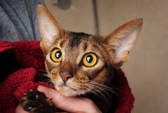 Abyssinian cat wet in red towel in master's hands Royalty Free Stock Photos