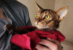 Abyssinian cat wet in red towel in master's hands Royalty Free Stock Photography