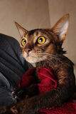 Abyssinian cat wet in red towel in master's hands Royalty Free Stock Images