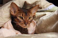 Abyssinian cat wet in towel lying in bed Stock Image