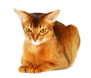 Abyssinian cat on white background Royalty Free Stock Photo