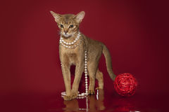 Abyssinian cat in white beads plays with a ball on a red background... Royalty Free Stock Images