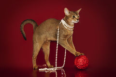 Abyssinian cat in white beads plays with a ball on a red background... Stock Photos