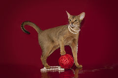 Abyssinian cat in white beads plays with a ball on a red background...