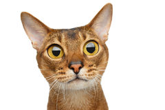 Abyssinian cat on white. Portrait of amazement Abyssinian cat with big eyes stare surprized on white Background, front view stock image