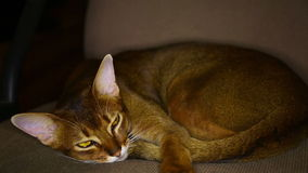 Abyssinian cat stock footage