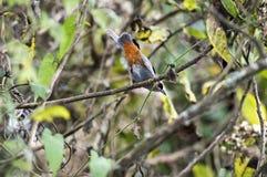Abyssinian catbird royaltyfria bilder