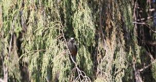 Abyssinian Catbird på trädfilial stock video