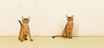 Abyssinian cats Royalty Free Stock Images