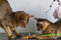 Abyssinian cats, mother and kitten, play stock image