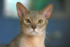 Abyssinian cat. Close up head of a cute Abyssinian cat stock photos