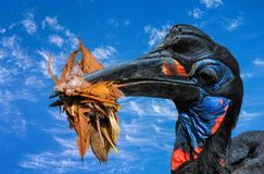 Abyssinian Ground Hornbill. Royalty Free Stock Photos
