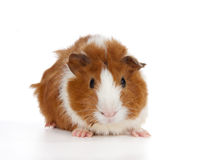 Free Abyssinian Guinea Pig Stock Photo - 10769490