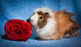 Abyssinian Guinea Pig Royalty Free Stock Images