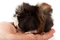 Abyssinian guinea pig, Cavia porcellus Royalty Free Stock Photo