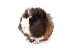 Abyssinian guinea pig, Cavia porcellus Stock Photo