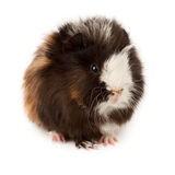 Abyssinian guinea pig, Cavia porcellus Royalty Free Stock Image