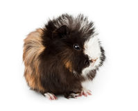 Abyssinian guinea pig, Cavia porcellus Royalty Free Stock Photos