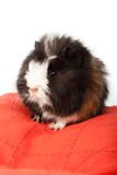 Abyssinian guinea pig, Cavia porcellus Royalty Free Stock Photography