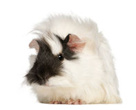 Abyssinian Guinea pig, Cavia porcellus, sitting Stock Images