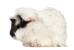 Abyssinian Guinea pig, Cavia porcellus, sitting Royalty Free Stock Photo