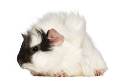 Abyssinian Guinea pig, Cavia porcellus, sitting Stock Photography